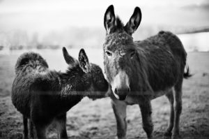 A picture of a donkey shows what happens when you write a mid term paper
